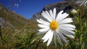 Mountain Daisy atop Rabbit Pass
